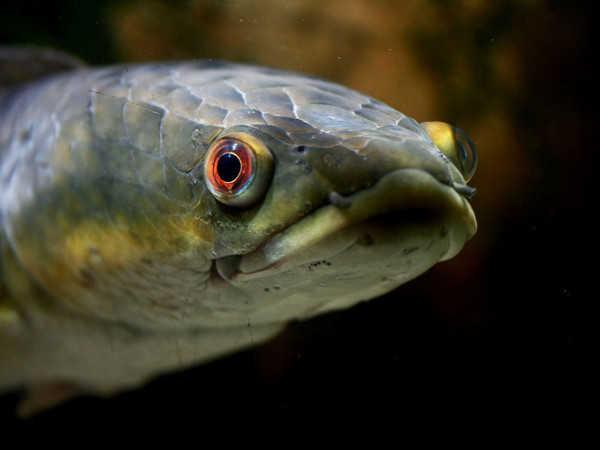 Mơ thấy cá chuối có ý nghĩa gì - Đánh con số nào chắc ăn?