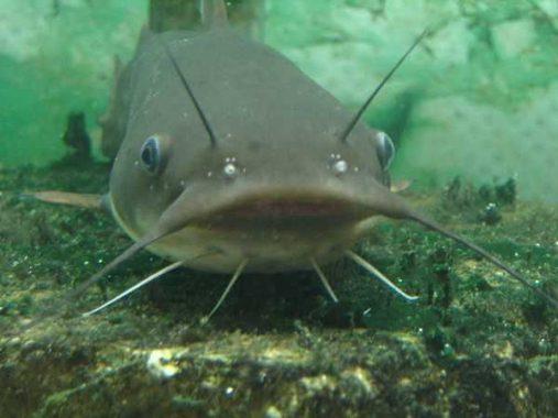 Mơ thấy cá trê là giấc mơ tốt hay xấu, con số liên quan là số mấy?