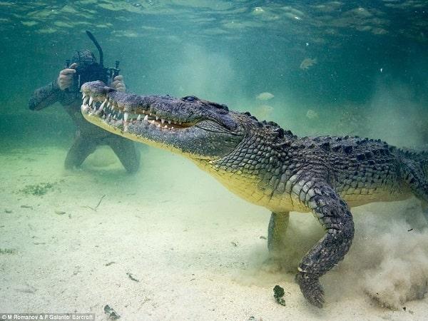 Mơ thấy cá sấu có điềm báo gì? đánh con số nào?