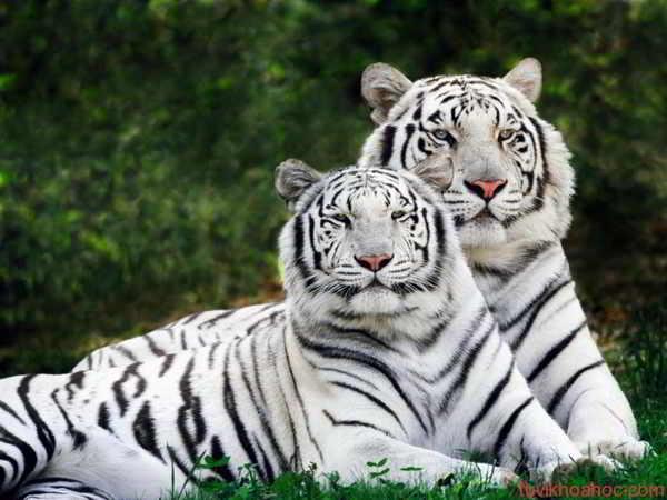 Mơ thấy hổ có điềm báo gì? đánh số nào may mắn?