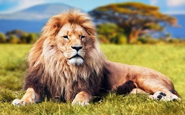 Mơ thấy sư tử có điềm báo gì? đánh số nào?
