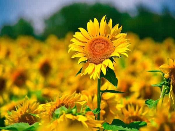 Mơ thấy hoa hướng dương có điềm báo gì? đánh con số nào?