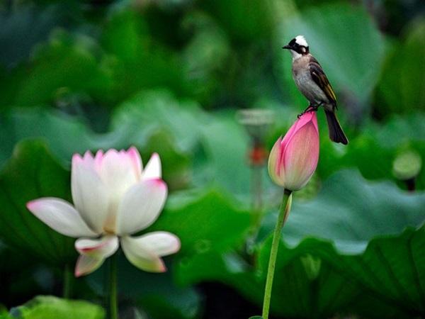Mơ thấy hoa sen có điềm báo gì? đánh con số nào trúng?