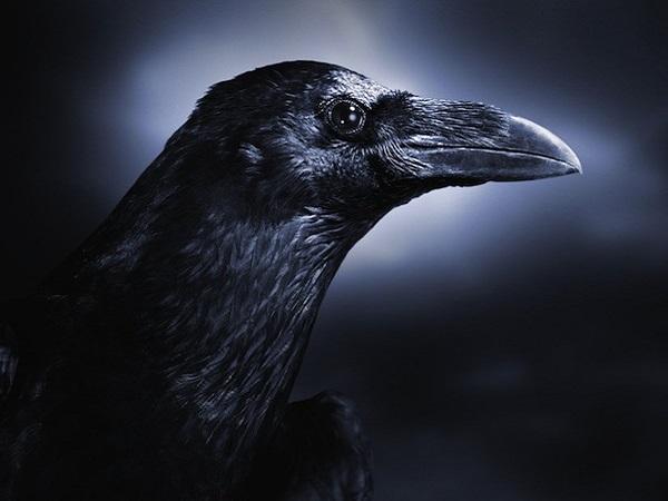 Mơ thấy con quạ có điềm báo gì? đánh số mấy?
