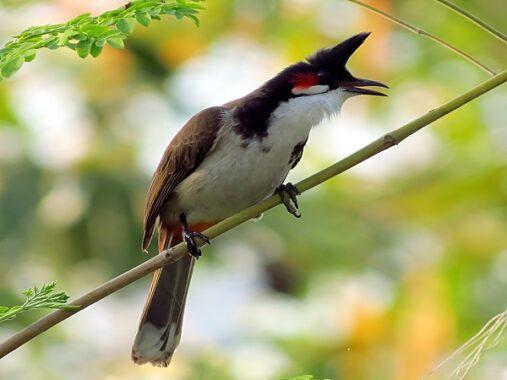 Mơ thấy chim chào mào có điềm báo gì?