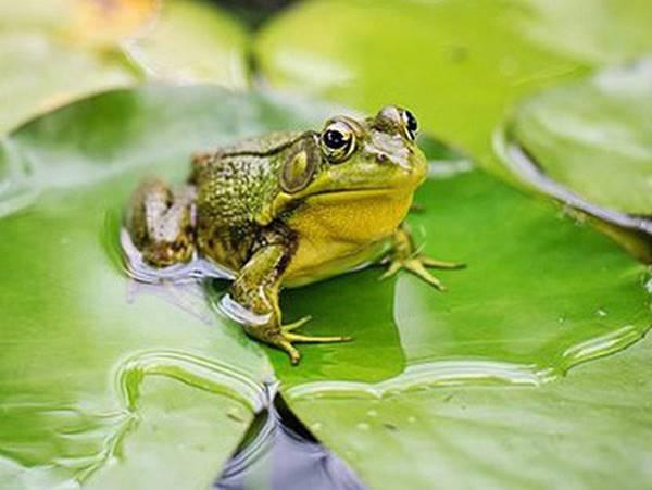 Mơ thấy ếch báo mộng điềm gì? Đánh tất tay con số mấy?
